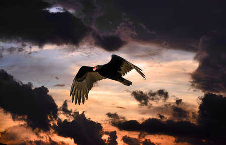 Turkey vulture soaring in a menacing sky at sunset Stok Fotoğraf
