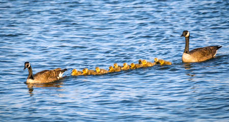 Flock of adorable golden baby geese during Spring swimmimg with their proud parents in the Chesapeake bay in Maryland Stok Fotoğraf