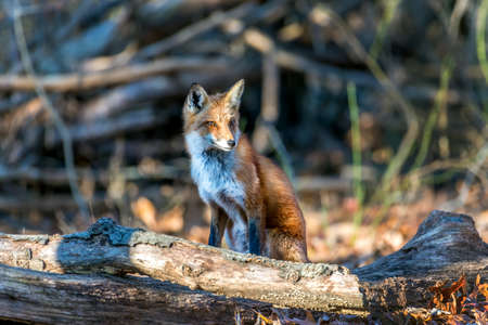 Wild Red Fox sitting in a forest in the sunlight