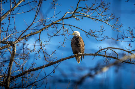 Magnificient Bald Eagle perched on a branch in the sunlight against a blue sky