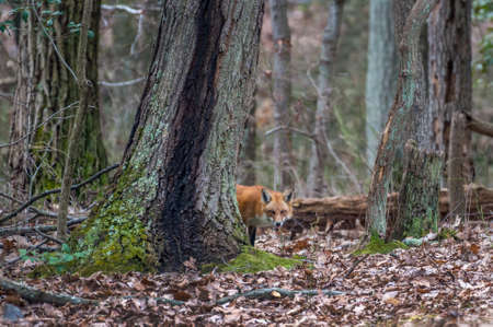 Wild Red Fox in a Maryland forest peeking from behind a tree during Autumn