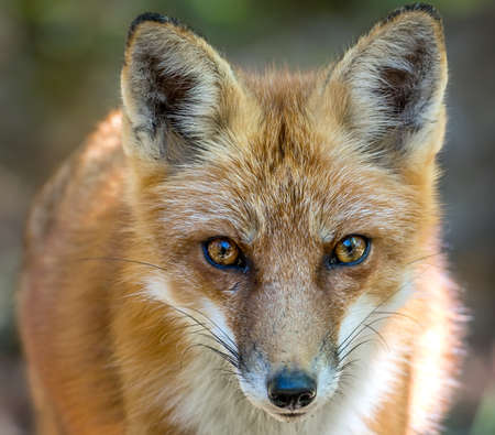 Wild Red Fox Close up Frontal Portrait of Face