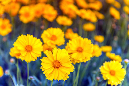 Yellow Gerbera Daisy Flowers in a field of blue blooming during Springtime Stok Fotoğraf
