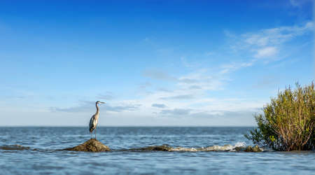 Great Blue Heron majestically standing on a rock jetty looking out over the Chesapeake Bay in Maryland on a clear sunny day Stok Fotoğraf