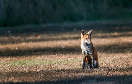 Wild Red Fox sitting in the sunlight in a field Stok Fotoğraf