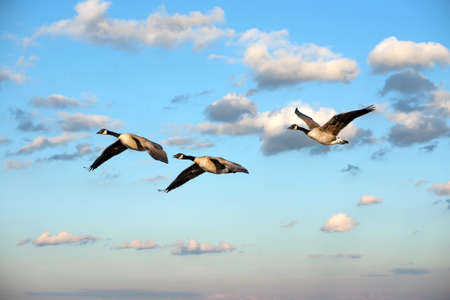 Flock of Canadian Geese soaring through clouds near sunset