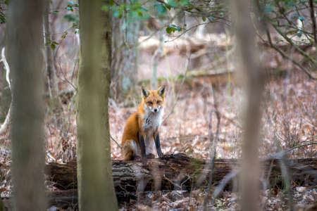 Wild Red Fox sitting on a log in the sunlight watching through the trees in a Maryland Forest