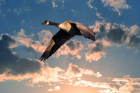 Canadian Goose soaring in the clouds above a beautiful sunlit sky near sunset Stok Fotoğraf