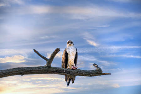 Stunningly beautiful Osprey perched on a tree branch against a magnificent sunset sky holding a piece of fish with an intense stare