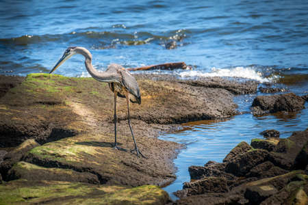 Great Blue Heron standing on a rock jetty on the Chesapeake Bay in Maryland looking for food