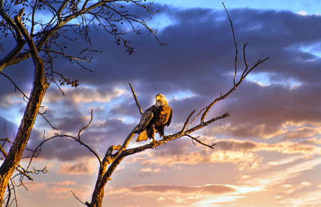 Awe Inspiring Bald Eagle standing on a tree limb in the sun with a magnificent sunset sky