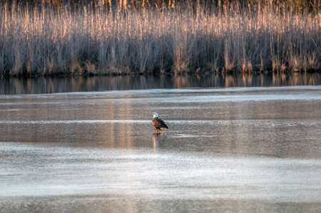 Bald Eagle standing on the ice in the middle of a frozen lake near the Chesapeake Bay during Winter