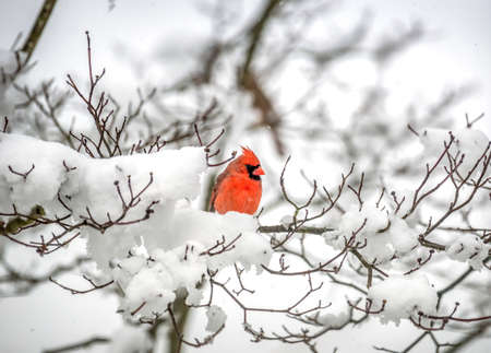 Colorful male red Northern Cardinal perched on a branch of a snow covered tree during Winter