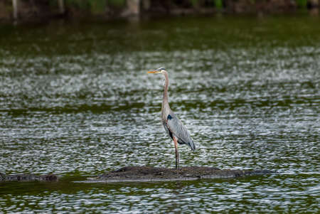 Beautiful Great Blue Heron standing majestically on a small island in a green water pond near the Chesapeake Bay