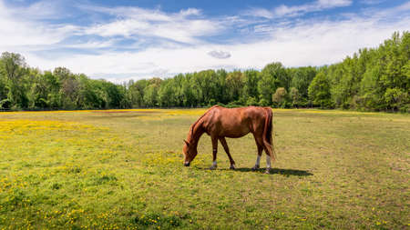 Magnificent red thoroughbred horse quietly grazing in the sun in a field of grass and wild flowers surrounded by trees in the Spring at a rural Maryland stable