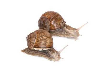 Two vineyard snails