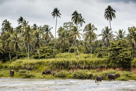 Elephant in a river in Sri Lanka,