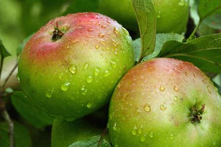apple of the varietal jakob lebel
