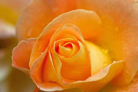 Gele roos Stockfoto