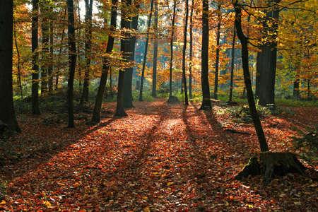 long shadows in the beech forest Stok Fotoğraf - 89976895