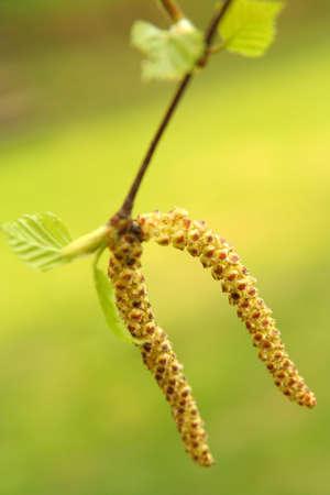 birch pollen
