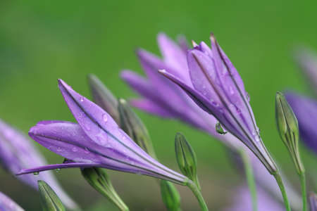 bluebells, campanula Stock Photo