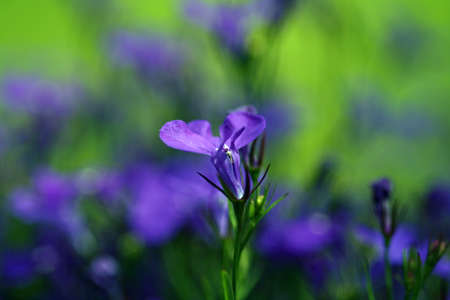 little blue flowers lobelia Stock Photo - 94401253