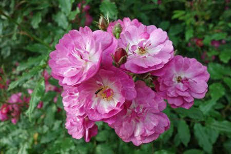 Rambler rose maria lisa