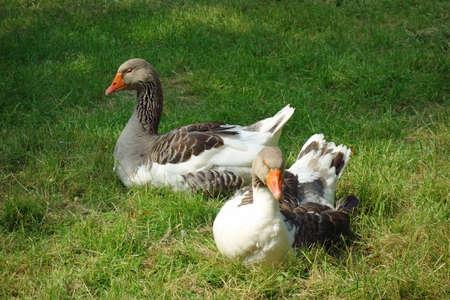 Gray goose Imagens
