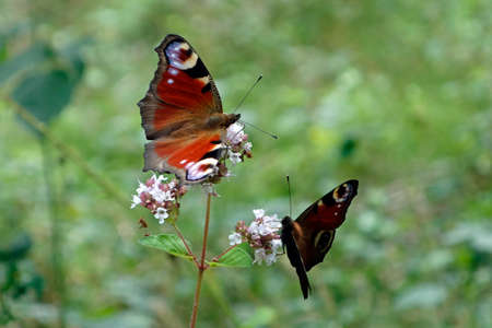 Butterfly Aglais io, Syn. Inachis io