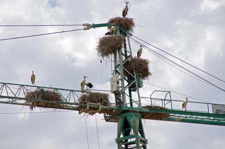 Wild Storks on a construction crane