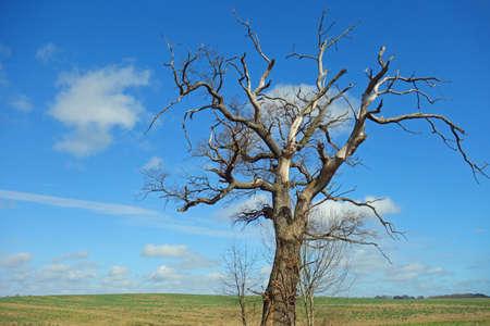Dead oak on open field