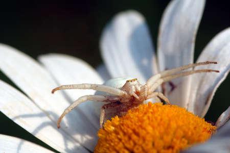 Misumena vatia, mutable crab spider