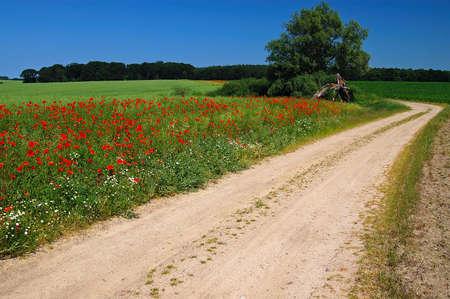 Path on the poppy field