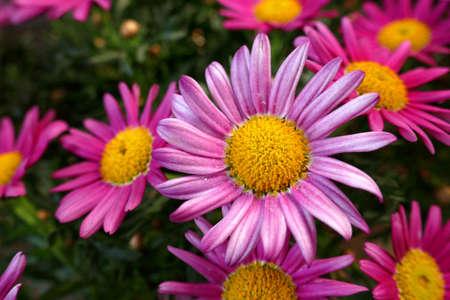 Pink shrub daisies