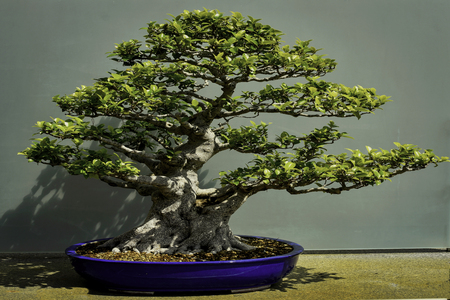 Bonsai tree, Chinese Banyon, 80 years old Stock Photo
