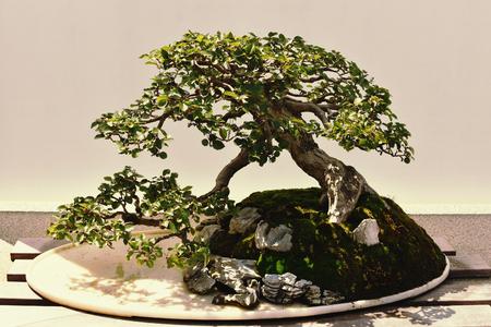 Bonsai Tree, Crape Myrtle, 55 years old. Foto de archivo - 107583196