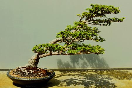 Bonsai Tree, Black Olive, 60 years old