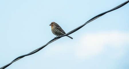 Finch perched on power cables Stock Photo