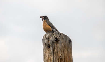 Robin sits on post with a snack Stock Photo