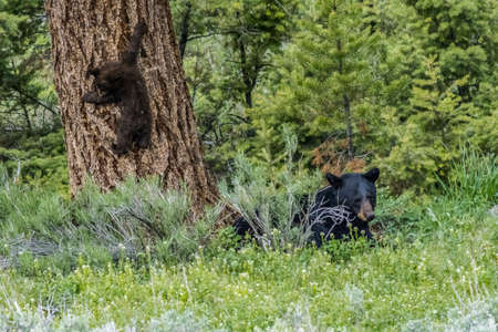 conservationist: Black Bear  Cub Climbs Tree by Mother