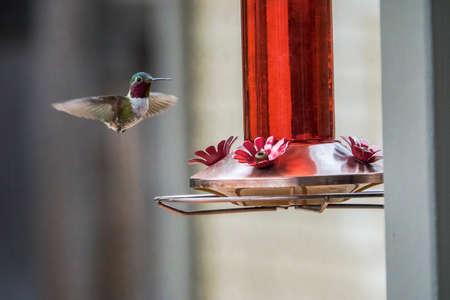 Humano colibrí de cola ancha Foto de archivo