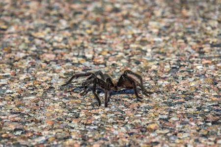 Male Oklahoma Brown Tarantula