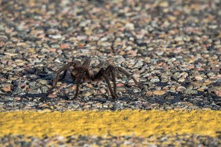 oklahoma: Male Oklahoma Brown Tarantula