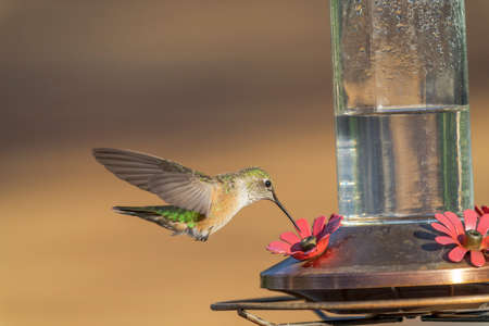 Hummingbird drinks from sugar feeder while hovering