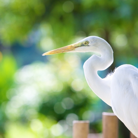 alba: Great Egret, Ardea alba Stock Photo