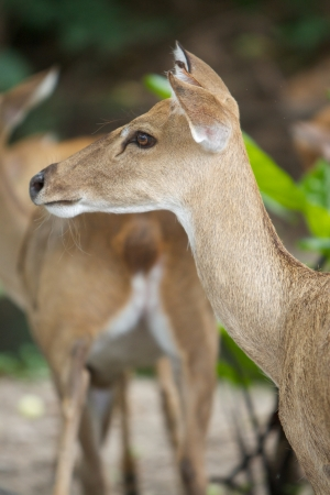 Burmese Brow - Antlered Deer  Eld s Deer  photo
