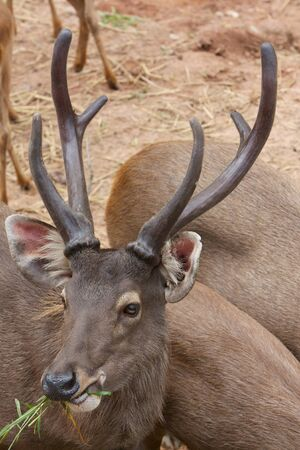 Sambar Deer  Cervus unicolor  photo