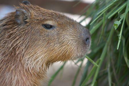 Capybara, capibara, carpincho, capincho, chigüiro (Hydrochoerus hydrochaeris) Stock Photo - 14189097