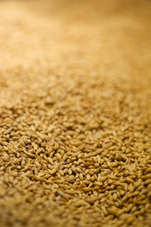 Barley for beer Stock Photo